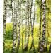 Kuvatapetti Dimex Birch Forest, 225x250cm kuva0