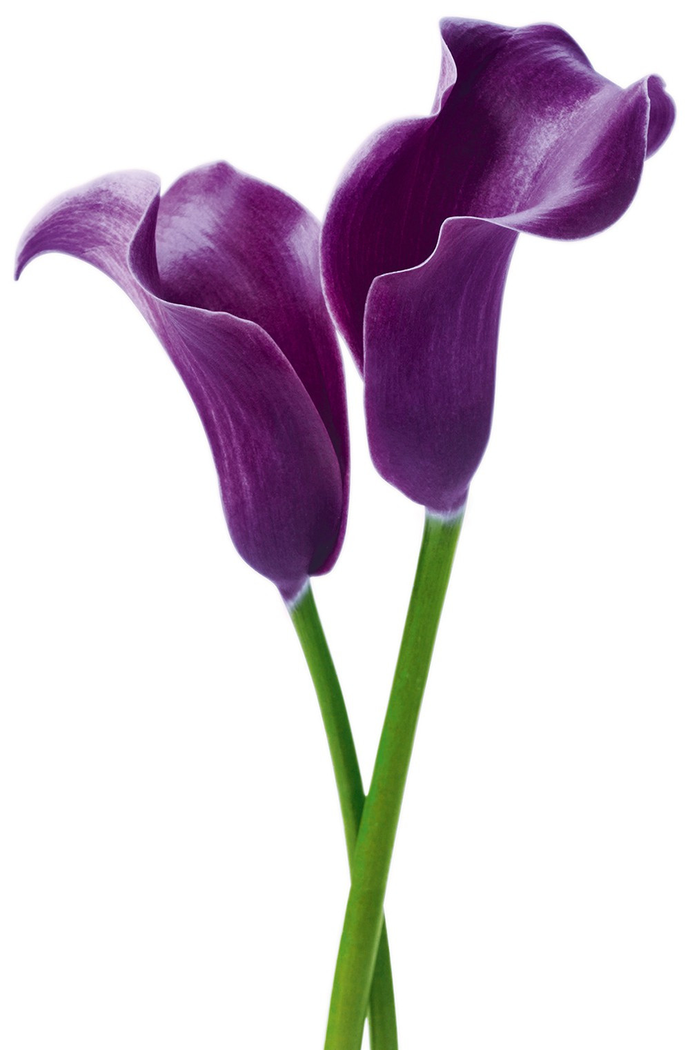 Wizard+Genius-Juliste Giant Art 00675 Purple Calla Lilies 115x175cm-2