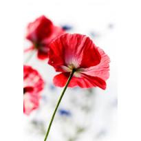 Paneelitapetti PhotoWallXL Red Poppy 158003 1860x2790 mm