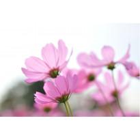 Paneelitapetti PhotoWallXL Pink Cosmos 158009 4185x2790 mm