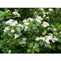 Koristearonia Aronia x prunifolia Viheraarni, aitataimi