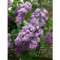 Pihasyreeni Syringa vulgaris Viheraarni, aitataimi