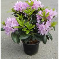 Puistoalppiruusu Rhododendron Viheraarni Cataw. Grandiflorum 30-40