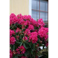 Puistoalppiruusu Rhododendron Viheraarni Nova Zembla 30-40