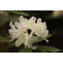 Valkoalppiruusu Rhododendron Viheraarni Cunninghams White 30-40