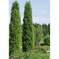 Pilarikataja Juniperus communis Viheraarni Suecica 80-100