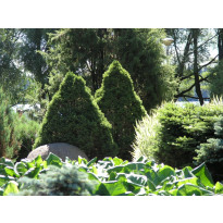Kartiovalkokuusi Picea glauca Viheraarni Conica 40-50