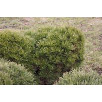 Kääpiövuorimänty Pinus mugo var. Pumilio Viheraarni 25-30