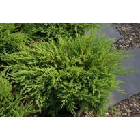 Laakakataja Juniperus h. Viheraarni Andorra Compact 30-40