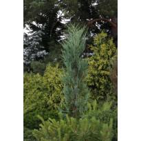 Sinikynäkataja Juniperus virginiana Viheraarni Blue Arrow 100-125