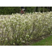 Isotuomipihlaja Amelanchier spicata Viheraarni