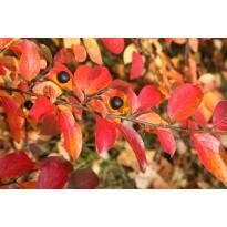 Kiiltotuhkapensas Cotoneaster lucidus Viheraarni
