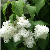 Valkoinen pihasyreeni Syringa vulgaris Viheraarni Alba