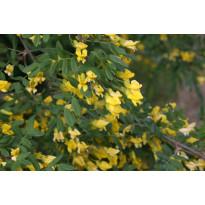 Siperianhernepensas Caragana arborescens Viheraarni