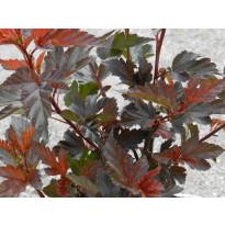 Purppuraheisiangervo Physocarpus opulifolius Viheraarni Diabolo