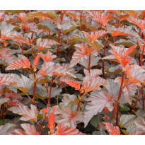 Purppuraheisiangervo Physocarpus opulifolius Viheraarni Lady in Red