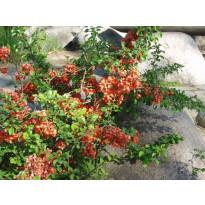 Japaninruusukvitteni Chaenomeles japonica Viheraarni