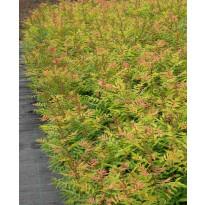 Pikkupihlaja-angervo Sorbaria sorbifolia Viheraarni Sem