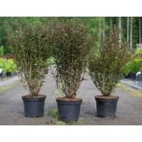 Purppuraheisiangervo Physocarpus opulifolius Viheraarni Tiny Wine