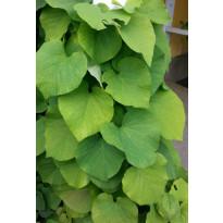 Piippuköynnös Aristolochia macrophylla Viheraarni