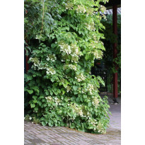 Köynnöshortensia Hydrangea anomala ssp. Petiolaris Viheraarni 40-50