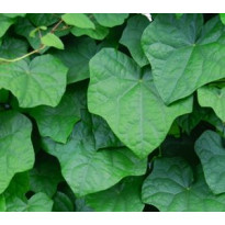 Aasiankilpikierto Menispermum davuricum Viheraarni