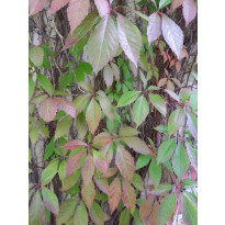 Imukärhivilliviini Parthenocissus quinq. Viheraarni Engelmannii