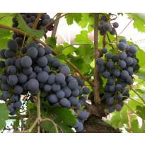 Viiniköynnös Vitis Viheraarni Zilga