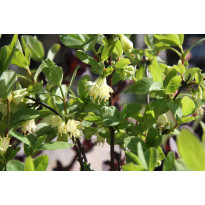 Hunajamarja Lonicera caerulea var. Kamtschatica Viheraarni Siniczka