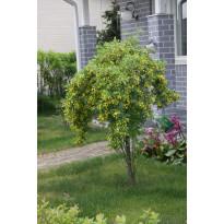 Riippahernepuu Caragana arborescens Viheraarni Pendula 120
