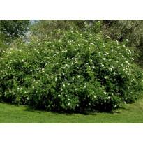 Riippapihlaja Sorbus aucuparia Viheraarni Pendula 180