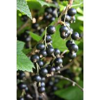 Mustaherukka Ribes nigrum Viheraarni Öjebyn