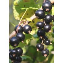 Mustaherukka Ribes nigrum Viheraarni Marski