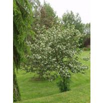 Marja-aroniapuu Aronia Viheraarni Viking 150-200