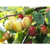 Luumu Prunus domestica Viheraarni Victoria