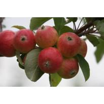 Omenapuu Malus domestica Viheraarni Pirja