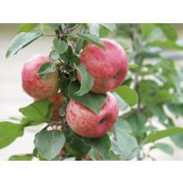 Omenapuu Malus domestica Viheraarni Huvitus