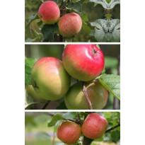 Omenapuu Malus domestica Viheraarni Perheomena, 3-4 eri lajiketta