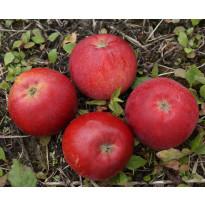 Omenapuu Malus domestica Viheraarni Punaposki