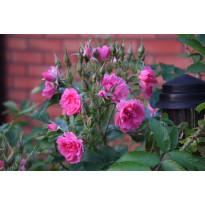 Neilikkaruusu Rosa Viheraarni Pink Grootendorst