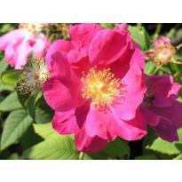 Valamonruusu Rosa Viheraarni Splendens