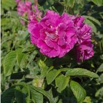 Pieni hansaruusu Rosa rugosa Viheraarni Moje Hammarberg