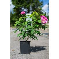 Kirjoapteekkarinruusu Viheraarni Rosa Mundi