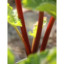 Tarharaparperi Rheum rhabarbarum Viheraarni Raspberry Red