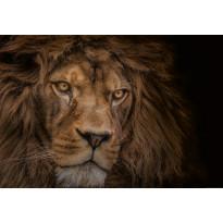 Valokuvatapetti Idealdecor Digital Lion 4-osaa, 5137-4V-1, 254x368cm
