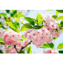 Valokuvatapetti 00133 Sakura Blossom 8-osainen 366x254 cm