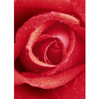 Valokuvatapetti 00368 Rose 4-osainen 183x254 cm