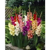 Gladiolus mix Viheraarni, 40 kpl/pak