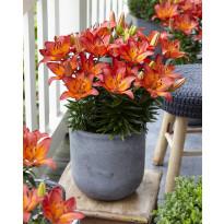 Ruukkulilja Viheraarni, Tangerine Joy, 10 kpl/pak
