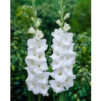 Gladiolus Viheraarni Essential, 10 kpl/pak